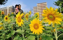 被災地に大輪を咲かせた「はるかのひまわり」=2009年7月、神戸市東灘区西岡本2