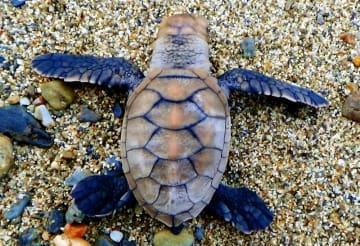 産卵とふ化が確認されたタイマイの子ガメ=2018年10月31日、国頭村・宇佐浜