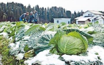 甘いキャベツどうぞ 高岡・北陸営農組合「カンカン野菜」収穫ピーク