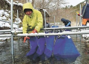 冷たい川の水にソバの実を浸す参加者