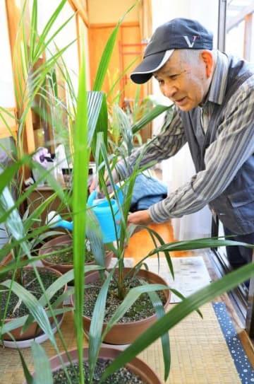 県の木フェニックスを、県内で採取した種から育てている杉本さん=16日午前、宮崎市