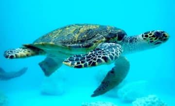 海洋博公園ウミガメ館で飼育されているタイマイ(海洋博公園提供)