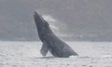 勢いよく海面に姿を見せるザトウクジラ=奄美市名瀬小湊沖