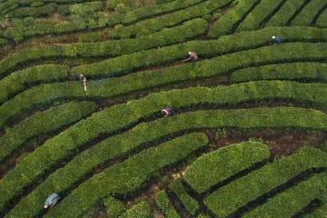 湖北省の茶農家、「大寒」迎え畑作業に大忙し