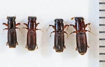 【(左から)日本海型の雄雌、太平洋型の雄雌=森林総合研究所関西支所提供】