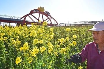 【かえる橋近くの畑で栽培されている菜の花(和歌山県印南町印南で)】