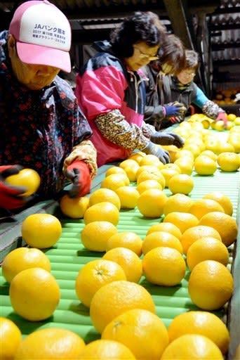 収穫された甘夏を選果する田の浦柑橘組合のパート職員ら=芦北町