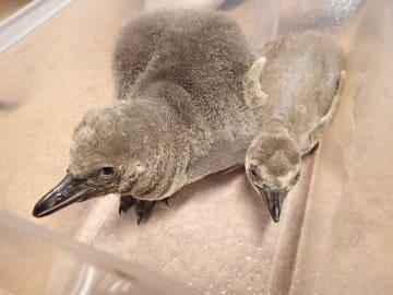 1日に生まれたひな(左)と3日に生まれたひな(浅虫水族館提供)