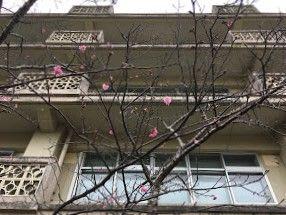 カンヒザクラがちらほら花をつけています