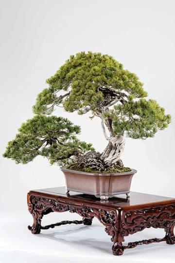 特別展示される五葉松「日暮し」(さいたま市大宮盆栽美術館提供)