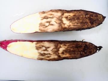 サツマイモ基腐病に感染し腐敗した甘藷(かんしょ)の断面(県病害虫防除・肥料検査センター提供)