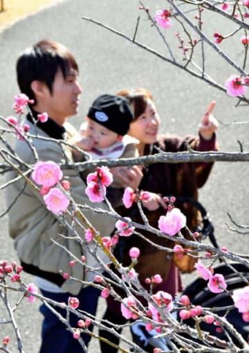 ピンクの梅の花に見入る家族連れ=22日午後、宮崎市の阿波岐原森林公園市民の森