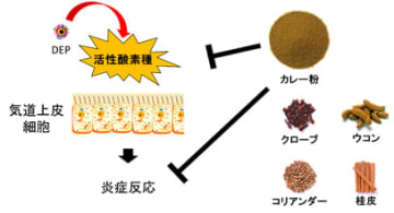 カレー粉に含まれる4つのスパイスがPM2.5による炎症を抑える効果が確認された(イメージ図:ハウス食品の発表資料より)