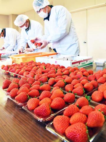 イチゴの名産地である館山市で22日早朝、毎年恒例の皇室へ献上するイチゴの選果式が行われ、平成最後となる献上に生産者らは選別や箱詰めに精を出した