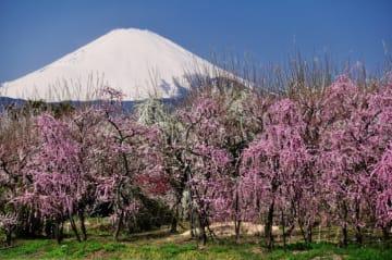 富士山を背景に35,000本の梅が咲き誇る『第49回小田原梅まつり』