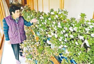 「金のなる木」見頃 小杉・山竹さん宅の50鉢開花