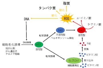 今回の研究成果から予想されるモデル図(画像: 神戸大学の発表資料より)