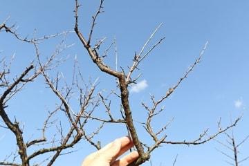 【枝が枯れ、花芽がほとんどついていない木もある(23日、和歌山県みなべ町西岩代で)】