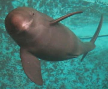 元気に泳ぐスナメリの赤ちゃん