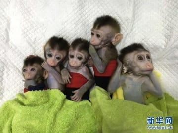 世界初の体細胞クローン疾患モデル猿、中国で誕生―中国メディア