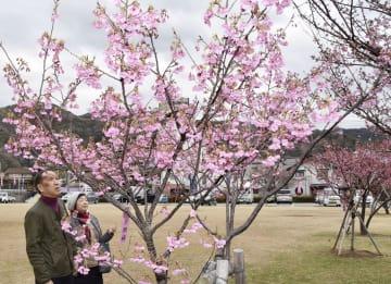 見頃を迎えた土肥桜=25日、静岡県伊豆市