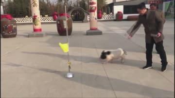 サッカーやボウリングをする子ブタ、雑技の里で話題に 河北省