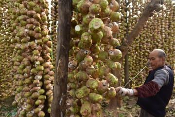 収穫期迎えた特産野菜のダイトウサイ 四川省内江市