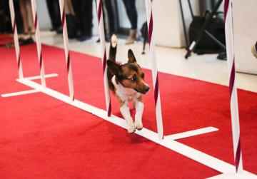 各犬種がドッグショーの記者会見に登場 米ニューヨーク