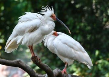 7年間でトキ150羽の繁殖に成功 広州市長隆飛鳥楽園