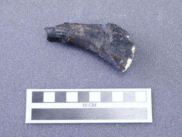熊本県八代市で見つかった獣脚類の肋骨とみられる化石=28日、御船町恐竜博物館