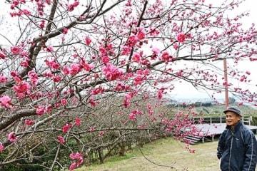 【梅公園では一部、五分咲きほどの観賞用の梅もある(28日、和歌山県みなべ町晩稲で)】