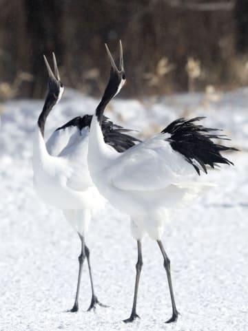 北海道鶴居村の給餌場に飛来し、白銀の雪上で鳴き交わすタンチョウ=31日