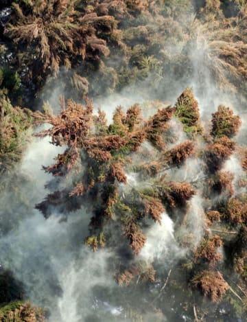 煙のように舞い上がるスギの花粉