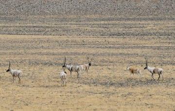 三江源国家公園、大型希少動物の集中生息地に