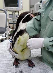 原因不明のけいれんや嘔吐で治療を受けるフンボルトペンギン(姫路市立水族館提供)
