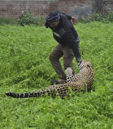 1月31日、インド北部ジャランダーの住宅街に出現した野生のヒョウに襲われる男性(AP=共同)