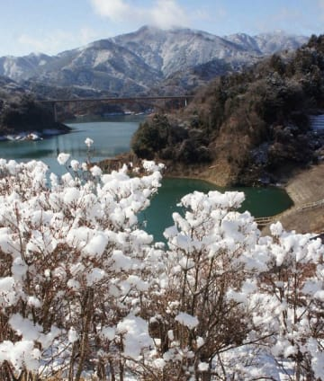 ドウダンツツジに積もった雪が白い花のようになった宮ケ瀬湖周辺