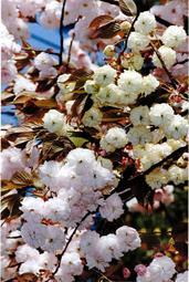 花の色が黄色からピンクへと変わる「須磨浦普賢象」の原木=神戸市須磨浦公園(1990年4月撮影)