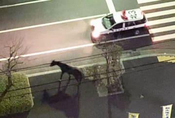 パトカーが警戒する中、岐阜市の住宅街を歩く馬=3日午前0時すぎ(近隣住民提供)