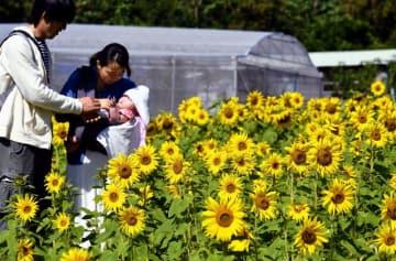 陽光に映えるヒマワリ畑を散策する来場者=3日、北中城村荻道(田嶋正雄撮影)