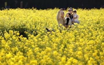 「長井海の手公園・ソレイユの丘」の菜の花畑で写真を撮る家族=4日午後、神奈川県横須賀市
