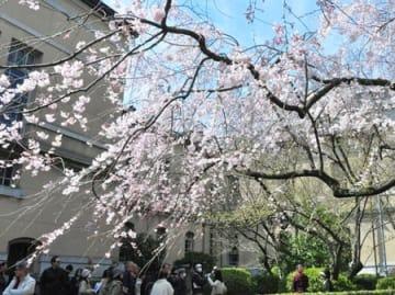 しだれ桜を楽しむ人たち(昨年3月、京都市上京区・府庁旧本館)