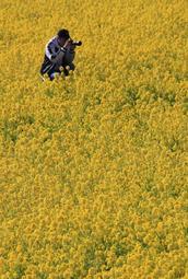 春のような陽気の中で咲き誇る菜の花=姫路市夢前町玉田