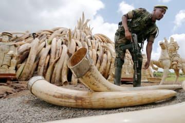 ケニアで押収された象牙=2016年4月(ロイター=共同)