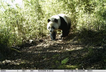野生動物の個体群が着実に増加 甘粛省白水江国家級自然保護区