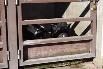 豚コレラの影響で開園中も寝室ですごすミニブタのアッキーとナッキー(京都市左京区・市動物園)