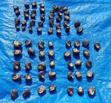 昨年8月に三浦市内でレジャー客が採取したサザエ(横須賀海上保安部提供)