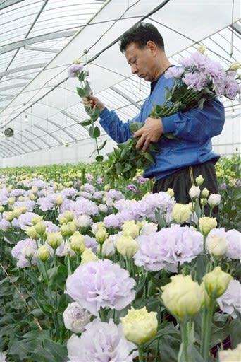 薄い紫色のトルコギキョウを収穫するJAやつしろ北部花部会の吉崎信弘部会長=八代市