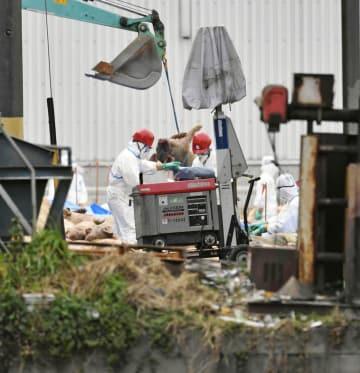 愛知県豊田市の養豚場で続く殺処分などの防疫作業=7日午後