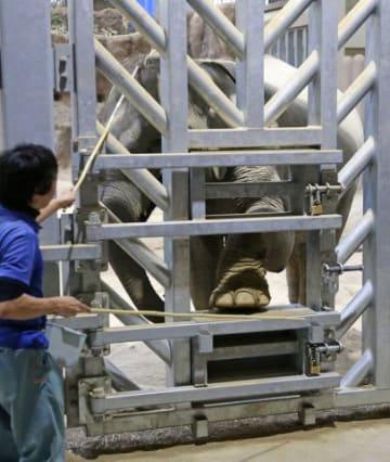 柵越しに飼育する「準間接飼育」の訓練を受けるゾウ(金本綾子撮影)
